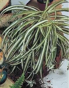 Grünlilie groß (fällt selbst. in Form)