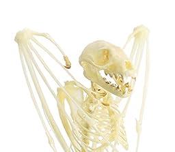 Real Taxidermy Bat | Short-nosed Fruit Bat Skeleton 5\
