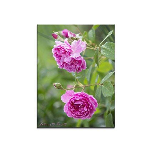 Rosenbild Sei wehrhaft, du Süße. Lichtechter Kunstdruck bzw. Fotobelichtung (Fotoprint) im Format 60cm x 45cm