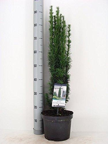schmale s uleneibe taxus baccata fastigiata robusta. Black Bedroom Furniture Sets. Home Design Ideas