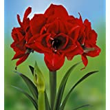Red Nymph Amaryllis Bulb - EXOTIC - Easy to Grow!