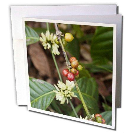 Danita Delimont - Cuba - Cuba, Trinidad, Topes De Collantes Park Coffee - Ca11 Wbi0804 - Walter Bibikow - 6 Greeting Cards With Envelopes (Gc_134581_1)