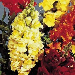 Buy Snapdragon Rocket Lemon Hybrid – Park Seed Snapdragon Seeds