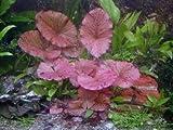 1 rote Tigerlotus ca. 5 cm Austrieb mit Knolle
