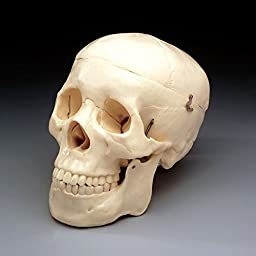 Budget Life-Size Skull (2nd Quality) CS202