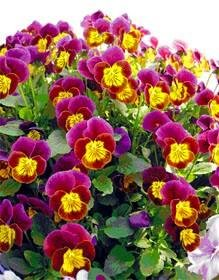 Red & Gold Skippy Hardy Viola 35 Seeds- Shade Perennial