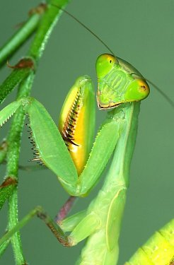 2 Egg Cases Chinese Praying Mantis 100 - 400 Babies