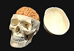 Wellden Product Medical Anatomical Human Skull Model,3-part, w/Brain, 8-part, Life Size