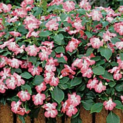 Buy Impatiens Sunny Lady Cranberry Hybrid – Park Seed Impatiens Seeds