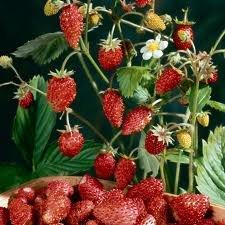 Strawberry Alpine Mignonette Great Heirloom Vegetable 40 Seeds
