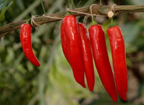 Seeds Chili Pepper Ukrainsky Hirkyy-Ukrainian Spice Hot Heirloom Seed