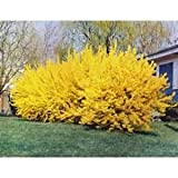 Lynwood Gold Forsythia (2-3 feet tall in full gallon containers)