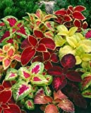 Rainbow Mix Coleus Seeds - Solenostemon scutellarioides - 0.01 Grams - Approx 35 Gardening Seeds - Flower Garden Seed