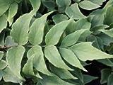 Sichelfarn - Cyrtomium fortunei - Farn von Native Plants
