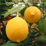 レモン:リスボンレモン4〜5号ポット[耐寒性のある人気品種 柑橘・かんきつ類苗木]