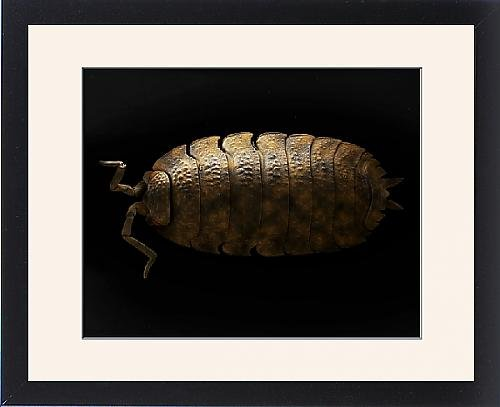 Framed Print Of Lrds-148 Common Rough Woodlouse From Ardea Wildlife Pets