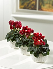 Red Cyclamen Trio