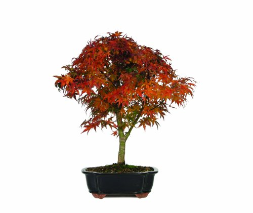Brussel's Japanese Maple 'Sharpes Pygmy' Bonsai (Red Bonsai Tree compare prices)