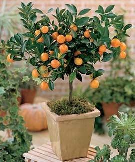 citris-mitis-calamondin-minature-orange-tree-5-seeds
