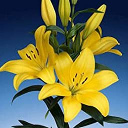 Asiatic Lilies Yellow 40 Flowers 24\