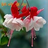 Generic Fuchsia Lanterns/flower/flower Seeds Indoor Balcony Living Room/Begonia Bell Pot Flower Seeds 10 Seeds-Color 13