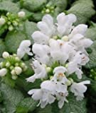 Lamium Maculatum 'White Nancy' AGM