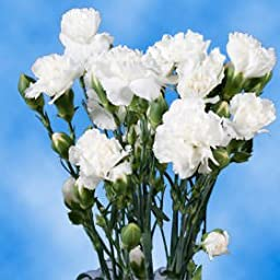 300 Stems of Fresh Cut White Spray Carnations | 1200 Blooms | Fresh Flowers Express Delivery | Perfect for Birthdays, Anniversary or any occasion.