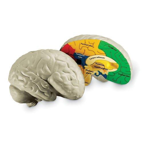 CrossSection Human Brain Model (Brain Model compare prices)