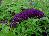 Summer lilac, butterfly bush - In a 3 L pot, height: 40-60 cm