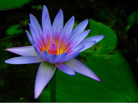 Sacred Blue Water Lily