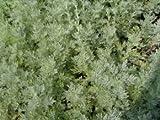 Wermut - Artemisia absinthium - Kräuterpflanze von Native Plants