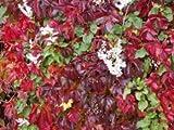 clematis waldrebe niele kletterpflanzen in ihrem garten bei. Black Bedroom Furniture Sets. Home Design Ideas