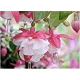 Fuchsia Lanterns/flower/flower Seeds Indoor Balcony Living Room/Begonia Bell Pot Flower Seeds 10 Seeds 17