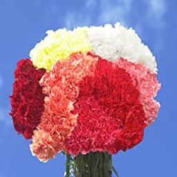 Assorted Color Carnations Select 300