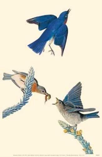 """Eastern Bluebird"""