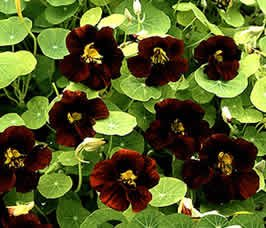 25+ Black Velvet Nasturtium Flower Seeds / Self-seeding Annual