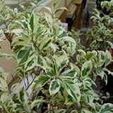 Plants Guru Ficus Variegated