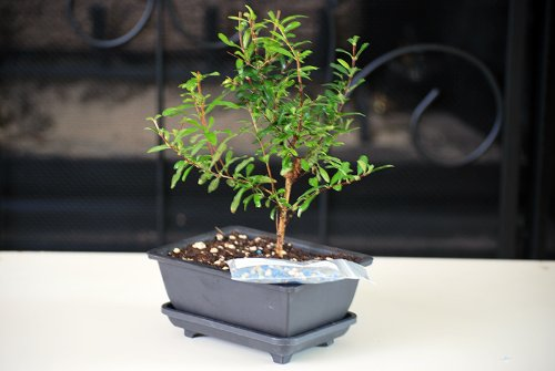 Dwarf Pomegranate Bonsai
