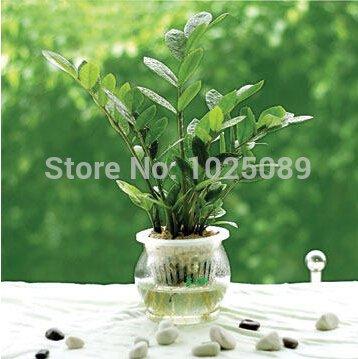 50-pc-bolso-semillas-del-arbol-del-dinero-balcon-en-maceta-la-siembra-es-simple-la-tasa-de-florecimi