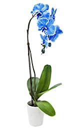 Live Blue Orchid Plant by KaBloom in Ceramic Pot, 5\