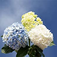 Hydrangeas Colors | Hydrangea Assorted Colors 10 Flowers
