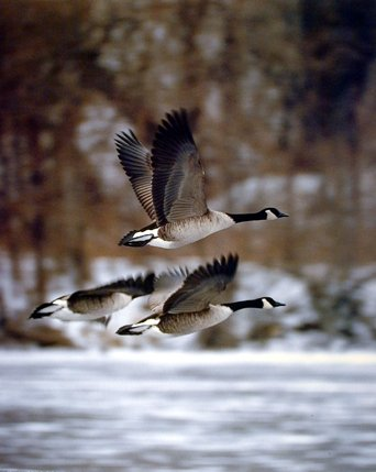 Canadian Geese Bird in Flight Wildlife Animal Wall Decor Art Print Poster (16x20)