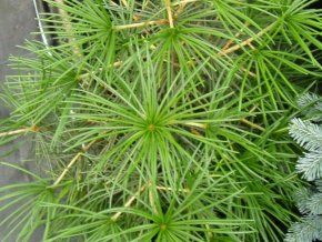 Japanische Schirmtanne - Sciadopitys verticillata - Rarität für den Japangarten