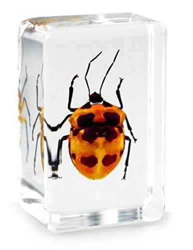 real-camelia-bug-beetle-pisapapeles-de-insectos-especimen-small-block