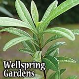 Allspice Tree, Pimento, Jamaica Pepper, Pimenta dioica LIVE PLANT spice tree tropical garden unique
