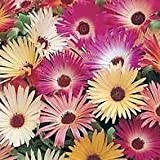 South Eastern Horticultural Pack Flower Seed Mesembryanthemum 'Sunshine Mix' King'S Seeds