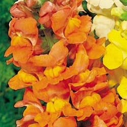 Buy Snapdragon Rocket Bronze Hybrid – Park Seed Snapdragon Seeds