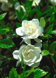 Gardenia August Beauty Topiary Five Gallon