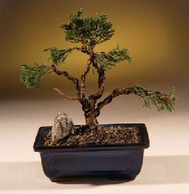 Buy Shimpaku Juniper Bonsai Tree – Trained.(juniper chinensis)