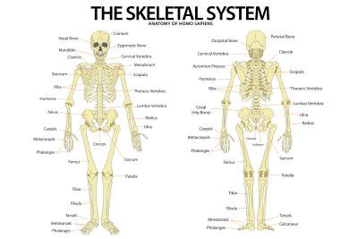 Pin Skeletal System Anterior And Posterior View On Pinterest